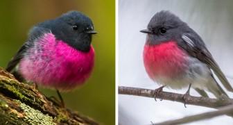 De zwartroze vliegenvanger: de eigenaardige kleine mus met een roze borst die lijkt te zijn ontstaan uit de tekening van een kind