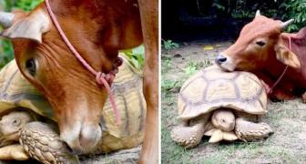 Niet in staat om te integreren met de koeien, sluit dit kalf een heel lieve vriendschap met een gigantische schildpad