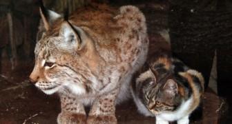 Eine Katze schleicht sich in einen Zoo und wird beste Freundin eines europäischen Luchses...
