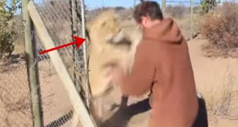 A man meets his lion and WATCH this fantastic reaction!!