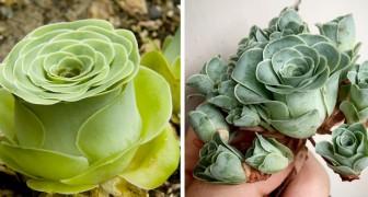 Esiste un tipo di pianta grassa la cui forma ricorda quella di una rosa appena sbocciata