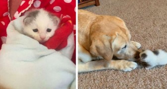 This 12 year old dog adopted an orphaned newborn kitten: between the two it was love at first sight
