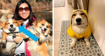12 photos de Corgi montrant un air de désapprobation adorable et hilarant