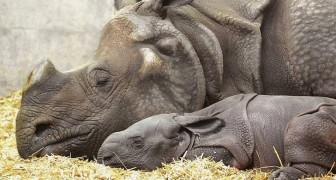 Dopo molti tentativi, questa mamma rinoceronte ha dato alla luce la sua cucciola: una grande speranza per la specie