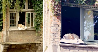 Als er noch lebte, winkte dieser Hund den Touristen in Brügge am Fenster, bequem auf einem Kissen liegend