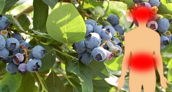 Voller Nährstoffe und Antioxidantien: 6 Vorzüge von Heidelbeeren, den kleinen Früchten mit viel drin