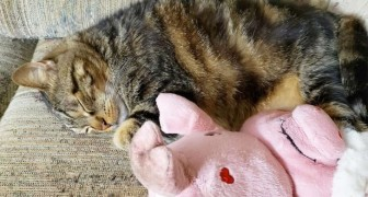 Diego, il gattino che non si allontana mai dal suo amico di peluche: sono praticamente inseparabili
