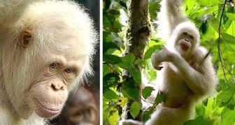 Alba, l'unica orangutan albina conosciuta al mondo, è in buona salute nella foresta a un anno dal suo rilascio