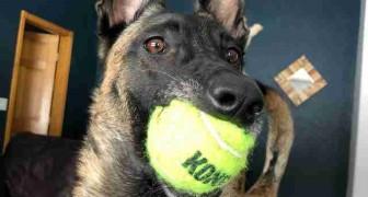 Questo pastore belga ha sempre adorato le palline da tennis, così per il suo compleanno ne ha ricevute quasi 400