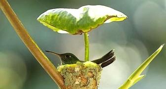 Ein Kolibri-Weibchen baut ein Nest direkt unter einem Blatt, um ihren Jungen einen sicheren Unterschlupf zu bieten