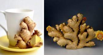 Lo zenzero è un alimento ricco di proprietà benefiche che lo rendono un valido alleato della nostra salute