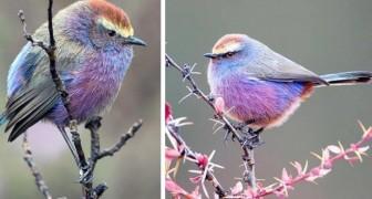 Den här förtjusande lilla fågeln med flerfärgade fjädrar ser ut som att den är tagen ur en saga