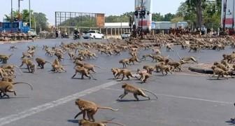 Honderden apen die op zoek zijn naar voedsel vallen een half lege stad in Thailand binnen vanwege het Coronavirus