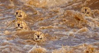 Due fotografi catturano il momento in cui 5 ghepardi attraversano un fiume nuotando a grande velocità