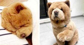 Chowder, der Chow Chow, der eher aussieht wie ein Teddy als ein Hund