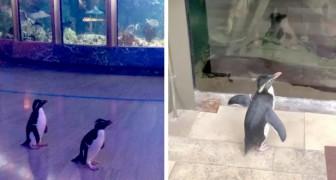 L'acquario chiude a causa del Covid-19: di notte i pinguini vengono lasciati liberi di girovagare nella struttura