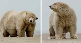 Fat Albert, der alaskische Eisbär, gierig nach Walfett mit einem Gewicht von 679 kg