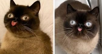 Ikiru, le chat boudeur qui semble nous mépriser en tirant constamment la langue