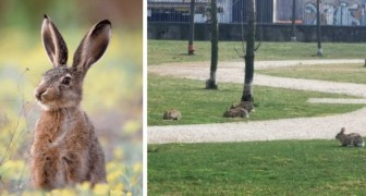 Milaan: doordat mensen opgesloten zitten in huis, nemen konijnen de stadsparken in hun bezit