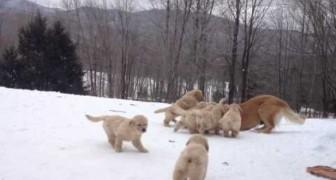 9 prachtige pups die met elkaar en hun moeder spelen