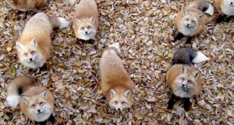 In Japan gibt es eine natürliche Oase, in der man den Tag mit Hunderten von schönen Füchsen verbringen kann