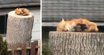 Een rode vos slaapt op een boomstam in de tuin van een huis: de afwezigheid van de mens in de natuur is merkbaar