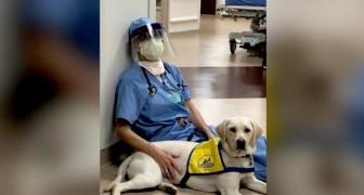 Wynn, il tenero labrador da terapia che conforta i medici e gli infermieri alle prese con il Covid-19