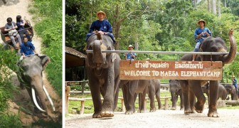 Coronaviruset, 78 elefanter i Thailand har släppts fria: de kommer inte längre att behöva bära runt turister på ryggen