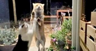 El gato y el zorro: una amistad muy dulce que continúa incluso durante el aislamiento forzado
