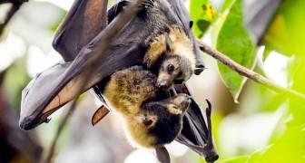 Coronavirus: in Peru la popolazione si accanisce contro i pipistrelli a causa della psicosi infondata da Covid-19