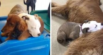 En hund blir lämnad på ett hundpensionat varje dag och efter att ha lekt somnar hon på den mjukaste hunden hon hittar