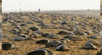 Nu India in quarantaine is geplaatst, maken duizenden zeeschildpadden ongestoord hun nest: naar schatting 60 miljoen eieren