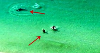 Two boys are approached by a shark but luckily they're not his prey !