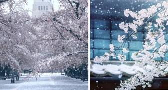Nevica a Tokyo durante la fioritura dei ciliegi: la città imbiancata incanta per la sua bellezza