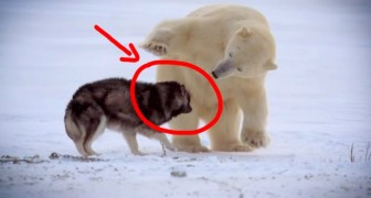 Nature's Weirdest Events...Cute polar bear playing with dogs!