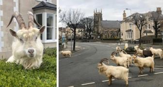 Un gruppo di capre selvatiche ha invaso le strade di una cittadina del Galles, approfittando dell'assenza dell'uomo