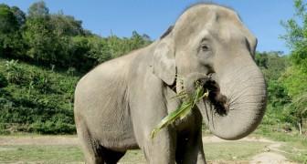 Thailandia: molti elefanti potrebbero a breve patire la fame a causa dell'assenza di turisti nel paese