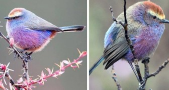The white-browed tit-warbler is a cute bird with multicolored feathers that looks like it came out of a Disney cartoon
