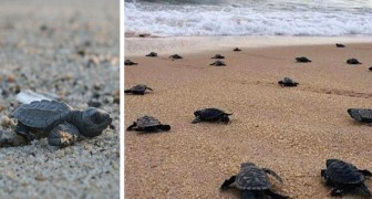 Brazilië is in quarantaine: de eieren van schildpadden komen uit op verlaten stranden en de kleintjes rennen richting de zee