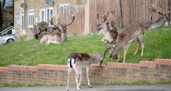 Coronavirus, a Londra gruppi di cervi vagano per le strade rese vuote dall'isolamento forzato