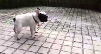 Eine kleine französische Bulldogge entdeckt den Regen. Die Reaktion ist einfach genial!