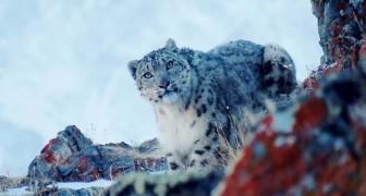 Un scientifique prend une photo très rare d'une femelle léopard des neiges, à seulement 20 m de distance