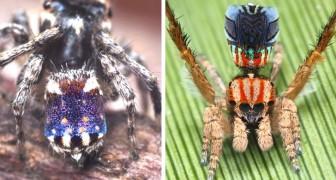 In Australien wurden 7 neue Pfauenspinnen-Arten entdeckt: Sie sind winzig, farbenfroh, und in der Lage, zu tanzen