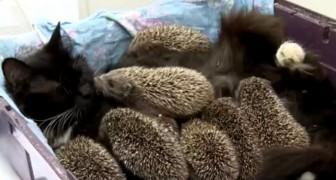 8 kleine egeltjes zijn wees geworden en weigeren te eten, maar dan begint een kat voor ze te zorgen