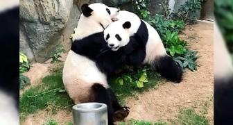 Con lo zoo chiuso per Coronavirus, due panda giganti riescono ad accoppiarsi dopo 10 anni di tentativi