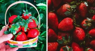 Le fragole sono il frutto estivo per eccellenza: buone e ricche di vitamine, sono un toccasana per l'organismo