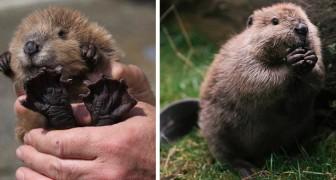 I castori sono roditori simpatici e curiosi: sempre indaffarati, sono gli ingegneri del mondo animale