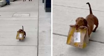 Este adorável salsicha carrega comida para sua família que está isolada