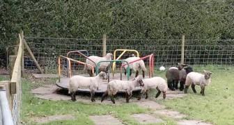 Con le persone in isolamento domiciliare, un gregge di pecore conquista il girello di un parco giochi