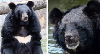 Coronavirus, la Chine recommande un remède à base de bile d'ours, extraite des horribles fermes à bile